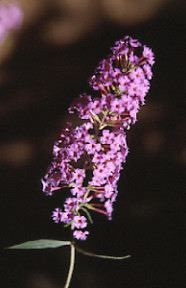 butterfly bush, Buddleia davidii