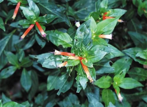 Cigar Plant, Cuphea sp.