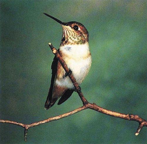 Allen's Hummingbird, Selasphorus sasin, adult female