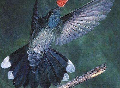 Blue-throated Hummingbird, Lampornis clemenciae, adult male