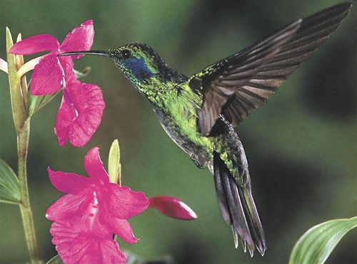 Green Violet-ear, Colibri thalassinus, adult male