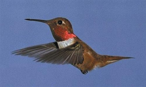 Rufous Hummingbird, Selasphorus rufus, adult male