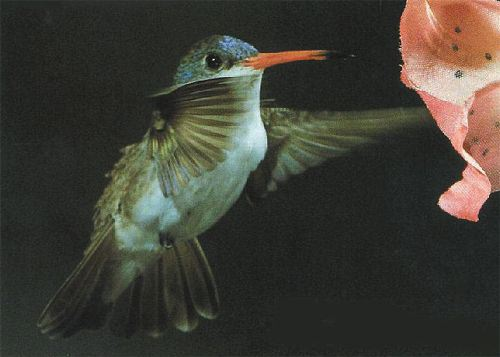 Violet-crowned Hummingbird, Amazilia violiceps, adult male