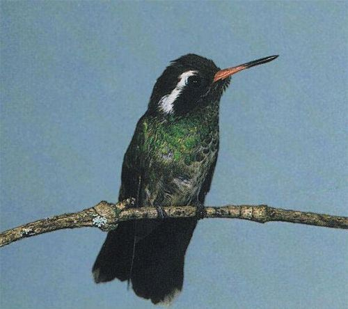 White-eared Hummingbird, Cynanthus lucotis, adult male