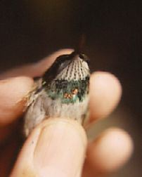 hummingbird color marking hummingbirds